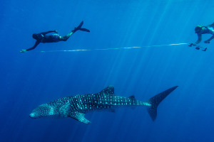 Whale Sharks – why they matter